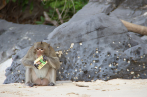 Photo - A monkey on an island near Cat Ba, Vietnam. His hobby: stealing food from tourists.